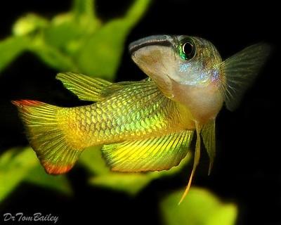 Premium Golden Wonder Killifish, Size: 2