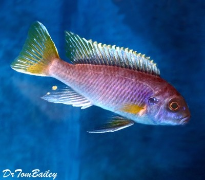 Premium Yellowtail Acei Mbuna Cichlid from Lake Malawi, Size: 1
