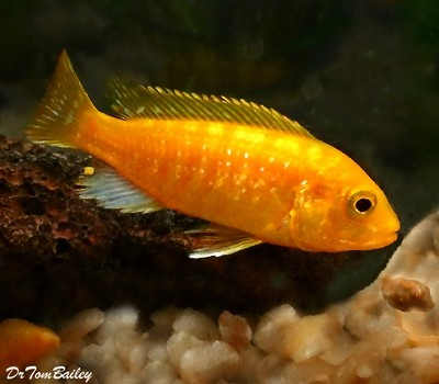 Premium, Lake Malawi, Solid Electric Yellow Cichlid, Size: 1.5