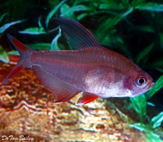 """Premium Rosy Red Tetra, Size: 1"""" to 1.2"""""""