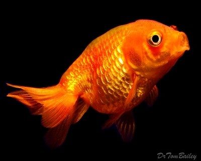 Premium Red Lionhead Goldfish, Size: 2