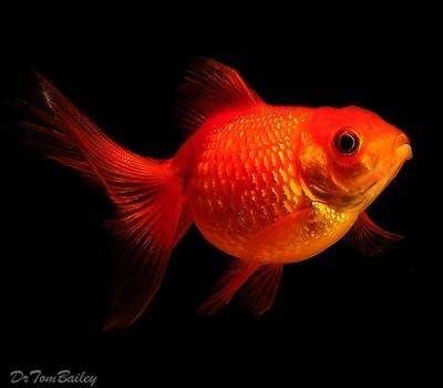 Premium Pearscale Goldfish, Size: 1