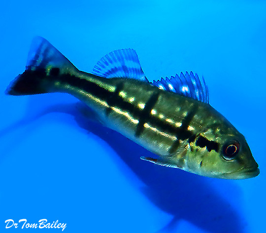 """Premium Temensis Peacock Bass Cichlid, Grows to be very Large, Size: 2"""" to 2.5"""""""