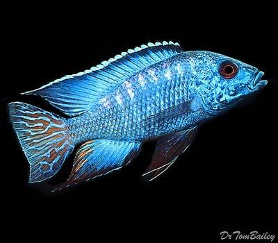Premium Lake Malawi Flametail Peacock Cichlid, Size: 2