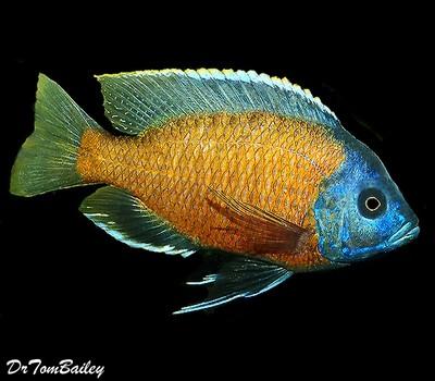 Premium Lake Malawi Borleyi Hap Cichlid, Size: 2