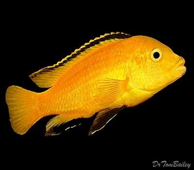 Premium Lake Malawi Electric Yellow, Mbuna African Cichlid, Labidochromis caeruleus, Size: 1