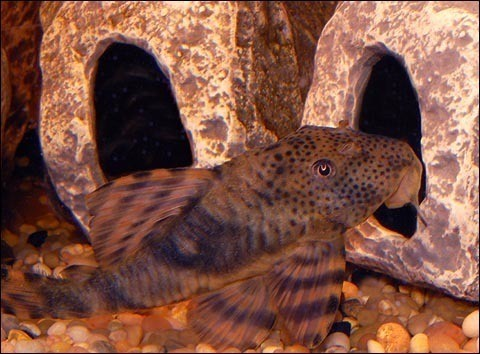 "Premium WILD, Rare Peckoltia Plecostomus Catfish, L147, Size: 2.5"" to 3"""