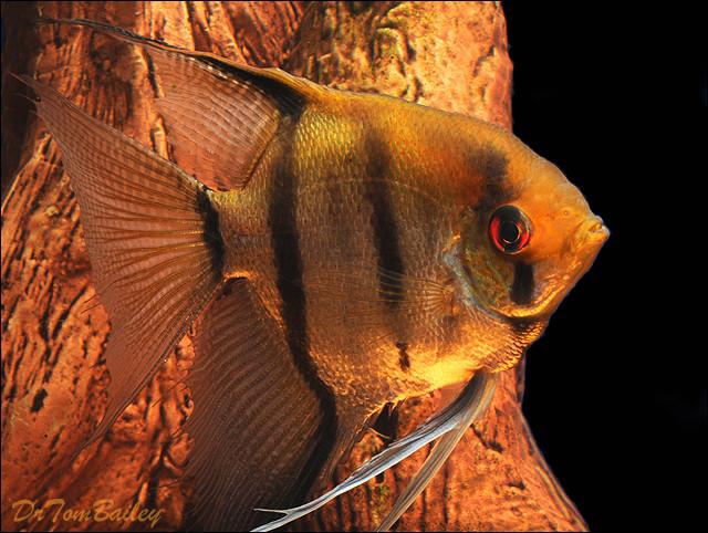"Premium Silver Angelfish, Size: 3"" to 3.5"""