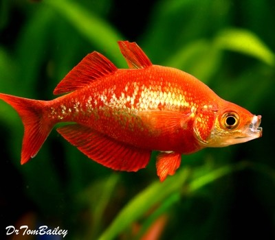 Premium Irian Red Rainbowfish, Size: 1.5