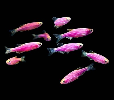 Premium Galactic Very-Purple GloFish Danio, Size: 1