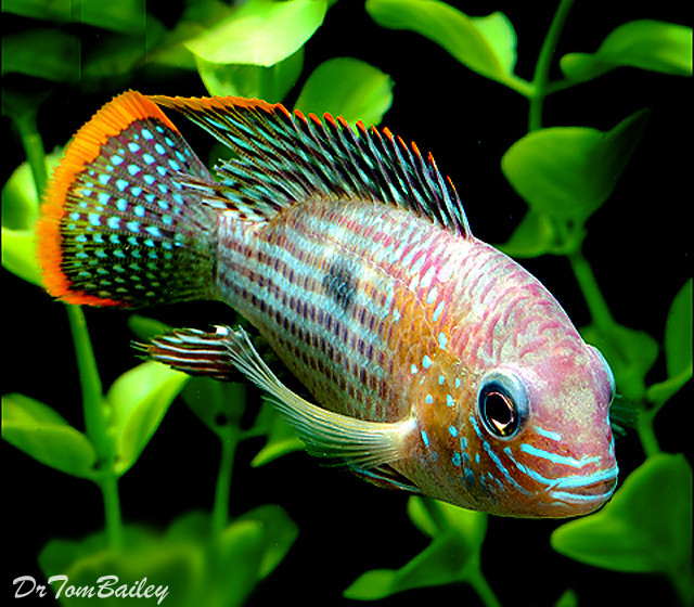 "Premium Green Terror Cichlid from Ecuador and Peru in South America, Size: 2"" to 2.5"""