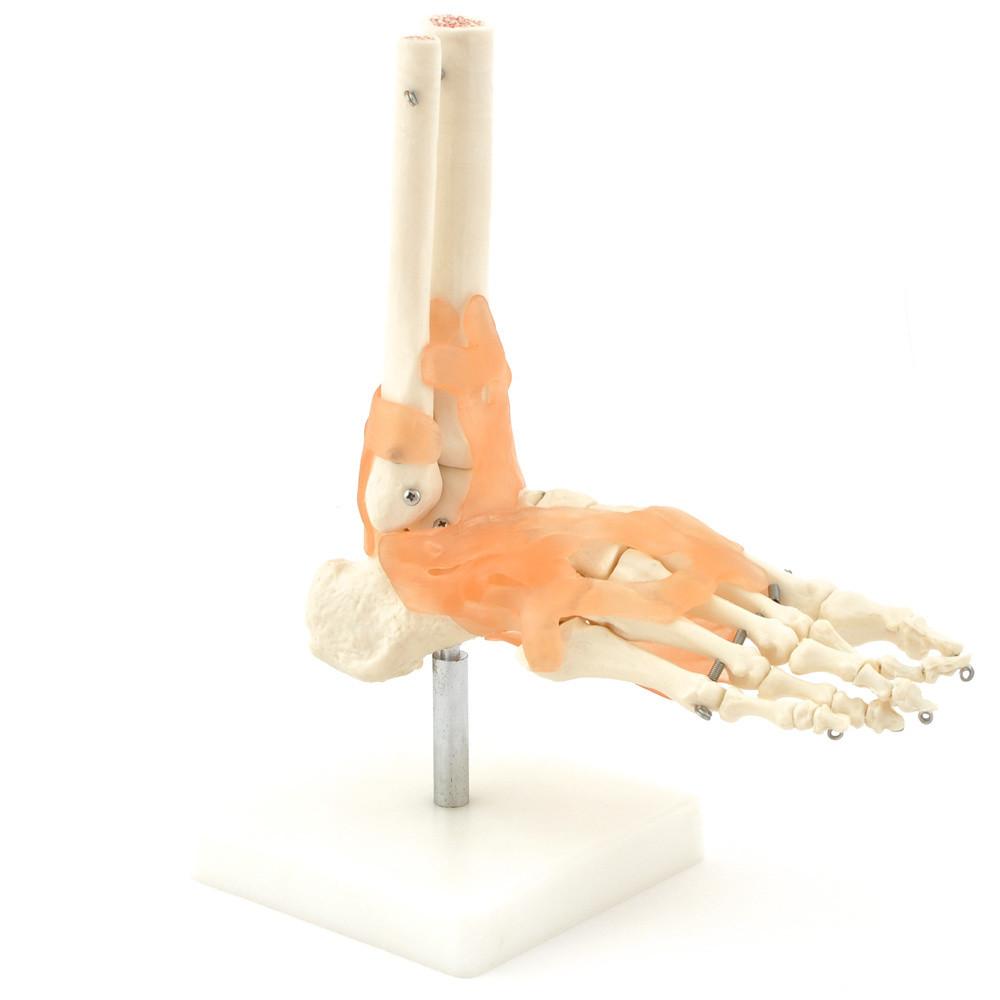 Fot Skelett med ligament