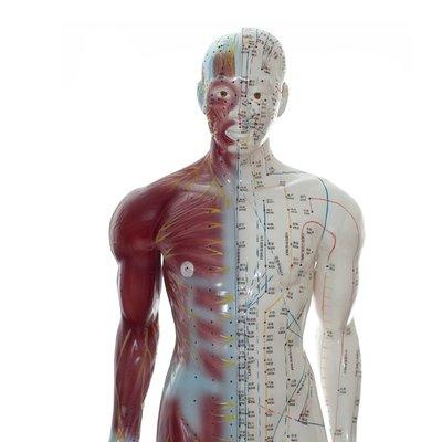 Akupunkturmodell med muskler 84cm