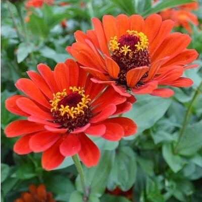 Red Beauty Zinnia seeds
