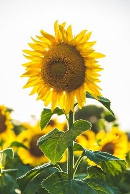 Mammoth Sunflowers