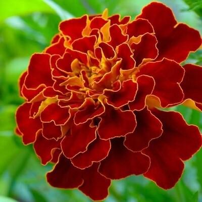 Spanish Brocade Marigold