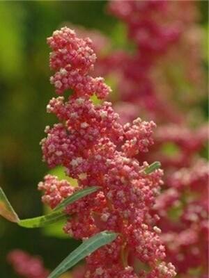 Cherry Vanilla Quinoa