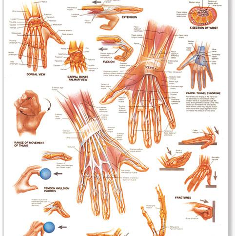 Anatomy Models, Charts & Posters