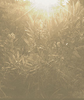Alpine Willow In Sepia, Fine Art Print