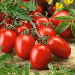 Jelly Bean Tomato Plant