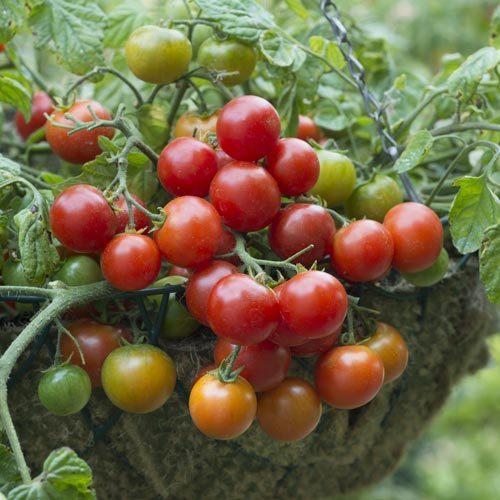 Terenzo Tomato Plant