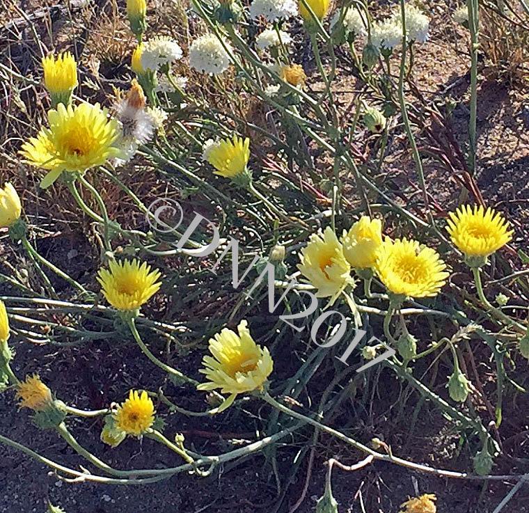 Desert Dandelion 00017
