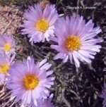 Mojave Aster 00049