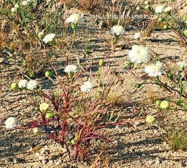 Pincushion Flower 00019