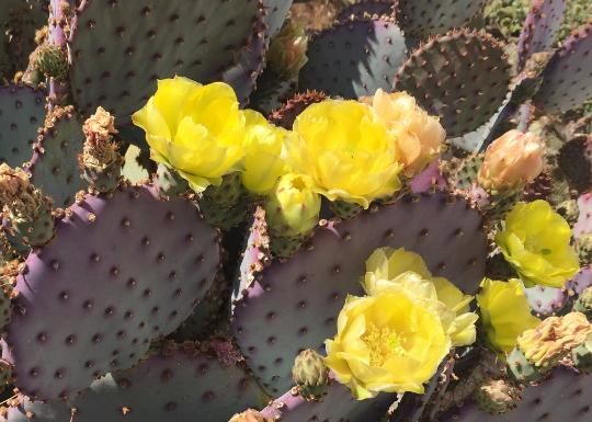 Purple Opuntia Cactus - Large Landscape Quality