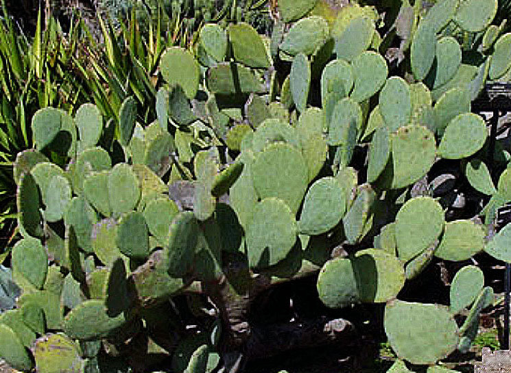 Cold Hardy Spineless Cactus for Tortoises: Grow your own! 00146
