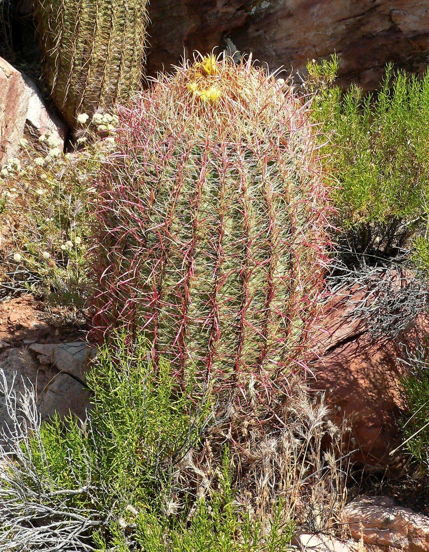 Red Barrel Cactus  6-8 inch