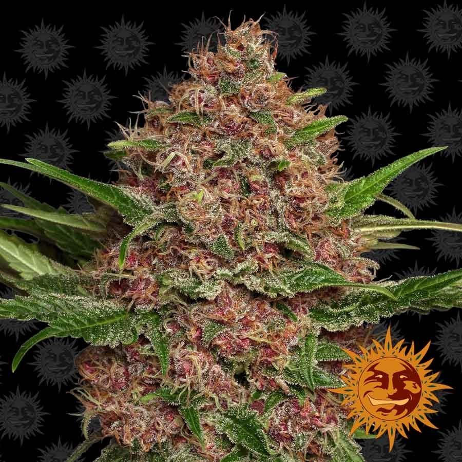 Семена марихуаны выбрать бабульки с коноплей