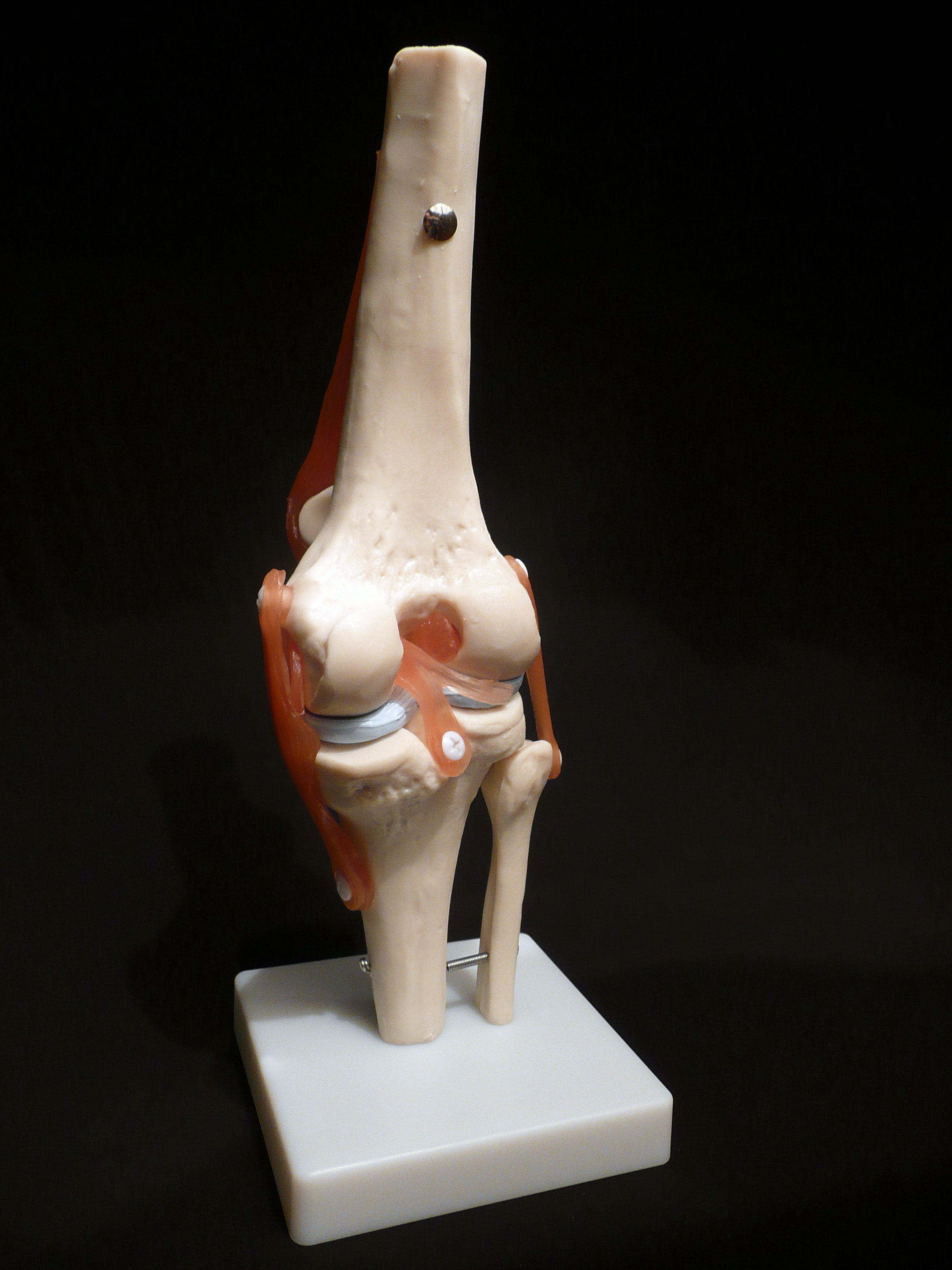 Life Size Anatomical Human Knee Joint Model Joint Models