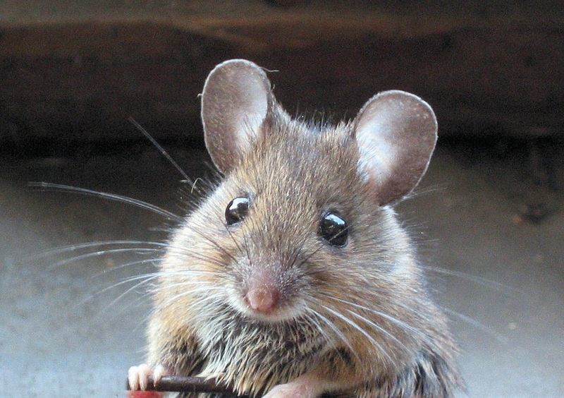 Mouse New Title