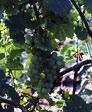 Favorite Grapevines