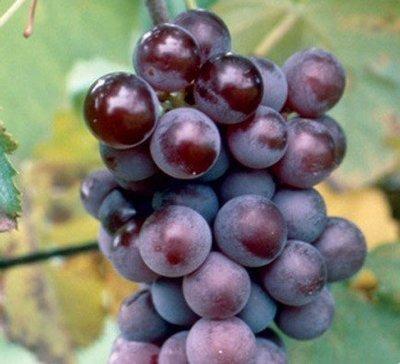 Champanel Grapevines