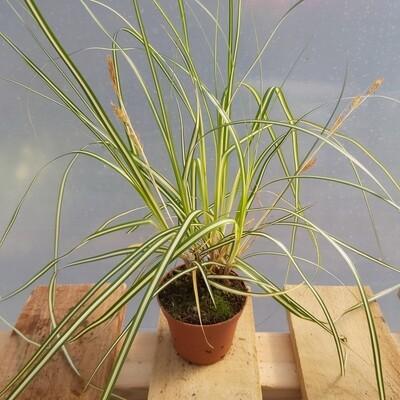 Carex Geminata - Type 4