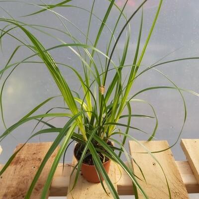Carex Geminata - Type 3