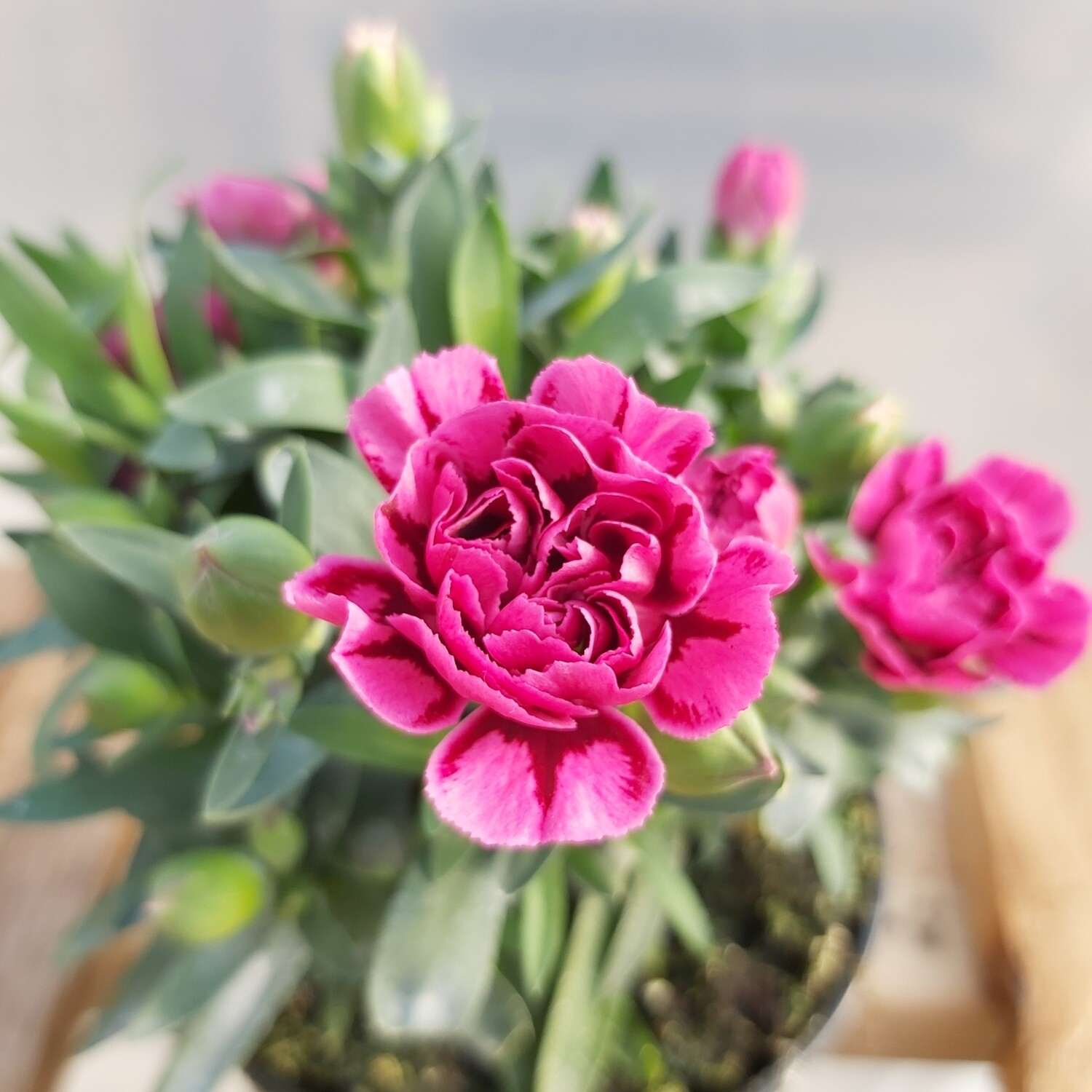 Dianthus - Various colours - (Medium - Red Label)
