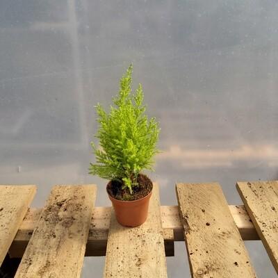 Cupressus Goldcrest Wilma - 20cm