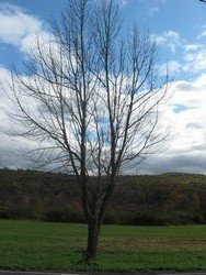 Tree (Saylorsburg, PA), 11