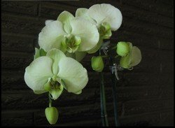 """Green Orchids, 11""""x 14"""", Priced Each"""