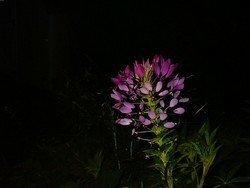 "Night Flower, 11""x 14"" Canvas, Priced Each"