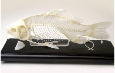 Fish Sheleton Specimen, Carassius Auratus (Goldfish), Priced Each