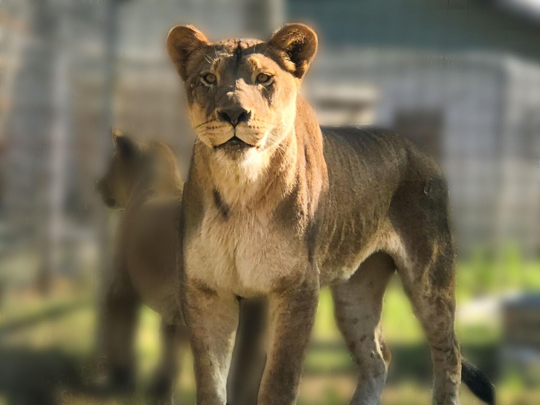 Wild About Lions Program