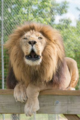 Lion Oofing Ringtone