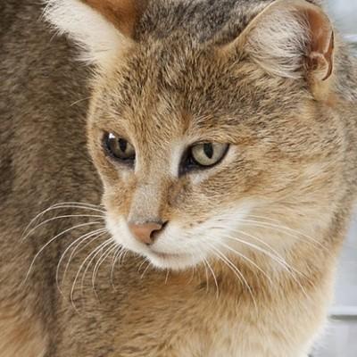 Jungle Cat Ringtone