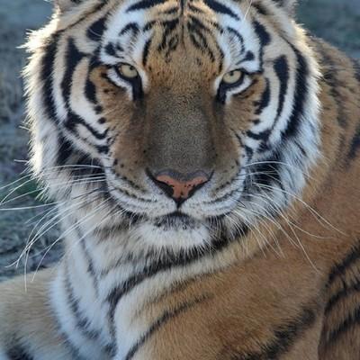 Tiger Chuffling Ringtone