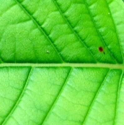 Green Maeng Da
